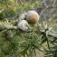 Emmanuel Stratmains - Juniperus oxycedrus L.