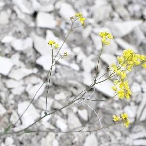Biscutella laevigata subsp. varia f. neustriaca (Bonnet) B.Bock (Biscutelle de Neustrie)