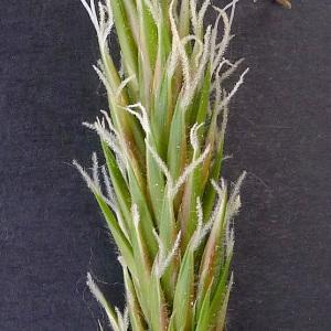 Photographie n°69464 du taxon Anthoxanthum odoratum L.