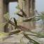 Marie  Portas - Eruca vesicaria subsp. sativa (Mill.) Thell.