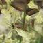 Marie  Portas - Eruca vesicaria subsp. sativa (Mill.) Thell. [1918]