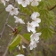 Annick Larbouillat - Prunus avium (L.) L.