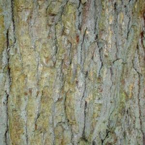 Photographie n°69579 du taxon Quercus robur L. [1753]