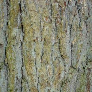 Photographie n°69580 du taxon Quercus robur L. [1753]
