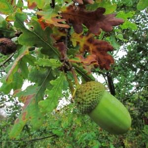 Photographie n°69583 du taxon Quercus robur L. [1753]