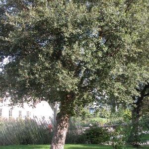 Photographie n°69626 du taxon Quercus suber L. [1753]
