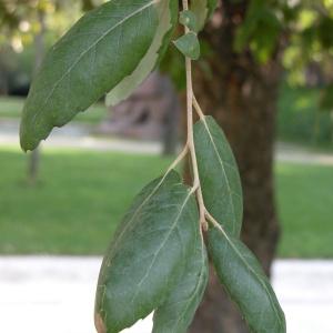 Photographie n°69628 du taxon Quercus suber L. [1753]