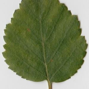 Photographie n°69670 du taxon Betula pubescens Ehrh. [1791]