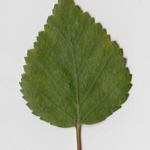 Photographie n°69672 du taxon Betula pubescens Ehrh. [1791]