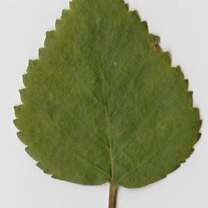 Photographie n°69674 du taxon Betula pubescens Ehrh. [1791]