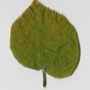 Photographie n°69716 du taxon Tilia platyphyllos Scop. [1771]