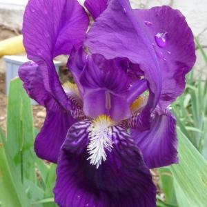 Photographie n°69741 du taxon Iris germanica L. [1753]