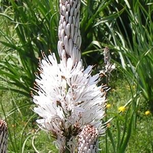 Asphodelus albus Mill. subsp. albus (Asphodèle blanc)
