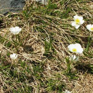 Photographie n°69752 du taxon Ranunculus pyrenaeus L.