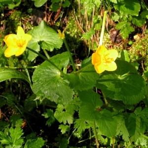 Photographie n°69764 du taxon Ranunculus thora L.