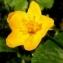 Alain Bigou - Ranunculus thora L.