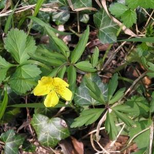 Photographie n°69781 du taxon Anemone ranunculoides L.