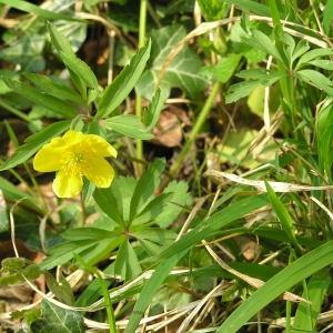 Photographie n°69782 du taxon Anemone ranunculoides L.