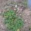 Andrine FAURE - Geranium molle L.