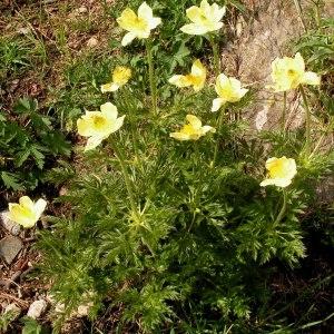 Photographie n°69806 du taxon Anemone alpina subsp. apiifolia (Scop.) O.Bolòs & Vigo [1974]