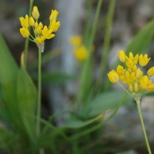 - Allium moly L.