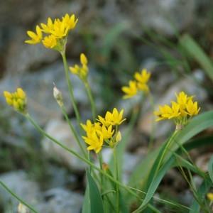 Allium moly L. (Ail d'Espagne)