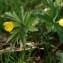Marc Chouillou - Anemone ranunculoides L.
