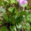 Alain Bigou - Primula integrifolia L. [1753]