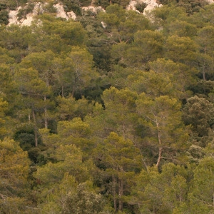 Photographie n°69916 du taxon Pinus halepensis Mill. [1768]