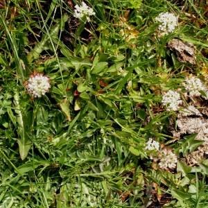 Photographie n°69933 du taxon Noccaea caerulescens subsp. caerulescens