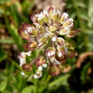 - Noccaea caerulescens subsp. caerulescens