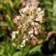 Alain Bigou - Noccaea caerulescens subsp. caerulescens
