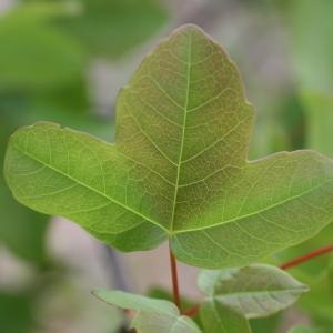 Photographie n°70057 du taxon Acer monspessulanum L. [1753]