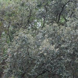 Photographie n°70068 du taxon Quercus ilex L. [1753]