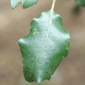 Photographie n°70069 du taxon Quercus ilex L. [1753]