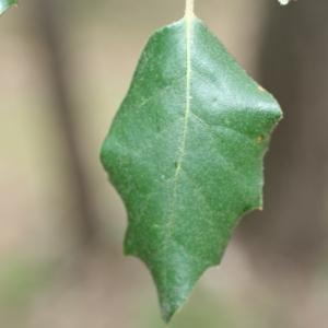 Photographie n°70070 du taxon Quercus ilex L. [1753]