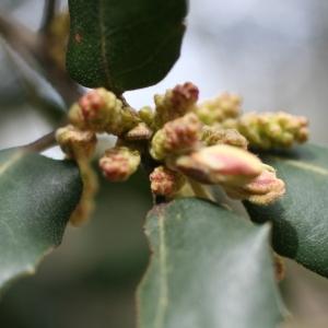 Photographie n°70074 du taxon Quercus ilex L. [1753]