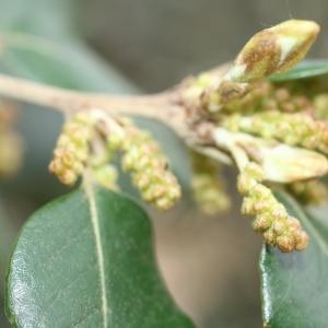 Photographie n°70075 du taxon Quercus ilex L. [1753]