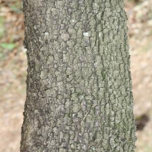 Photographie n°70076 du taxon Quercus ilex L. [1753]