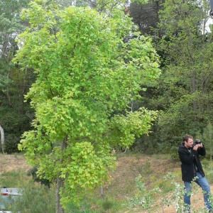 Photographie n°70078 du taxon Acer monspessulanum L. [1753]