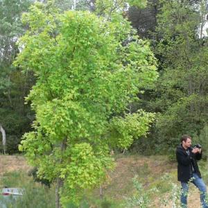 Photographie n°70080 du taxon Acer monspessulanum L. [1753]
