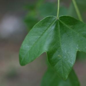 Photographie n°70081 du taxon Acer monspessulanum L. [1753]