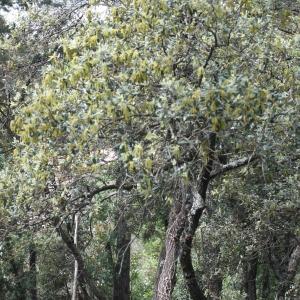 Photographie n°70100 du taxon Quercus ilex L. [1753]