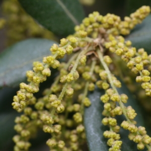 Photographie n°70106 du taxon Quercus ilex L. [1753]