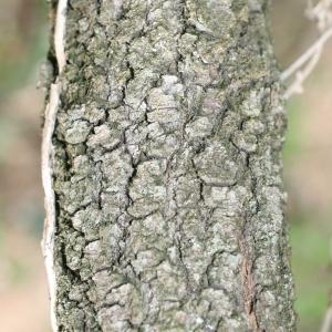 Photographie n°70108 du taxon Quercus ilex L. [1753]