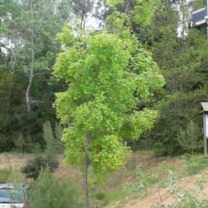 Photographie n°70118 du taxon Acer monspessulanum L. [1753]