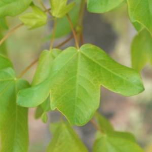 Photographie n°70120 du taxon Acer monspessulanum L. [1753]