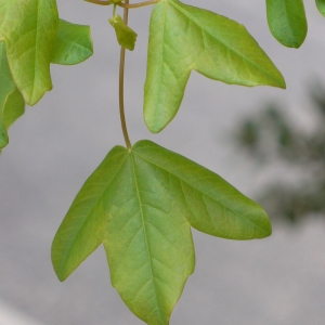 Photographie n°70121 du taxon Acer monspessulanum L. [1753]
