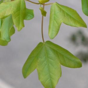 Photographie n°70122 du taxon Acer monspessulanum L. [1753]