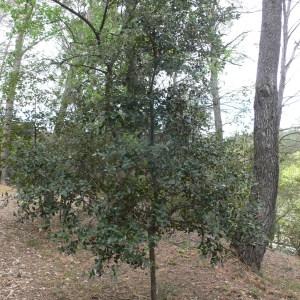 Photographie n°70146 du taxon Quercus ilex L. [1753]